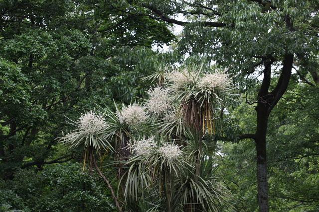 匂棕櫚欄の花