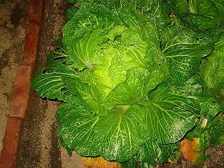 白菜収穫前H20.1.17