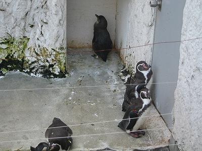 フンボルトペンギンH20.10.24