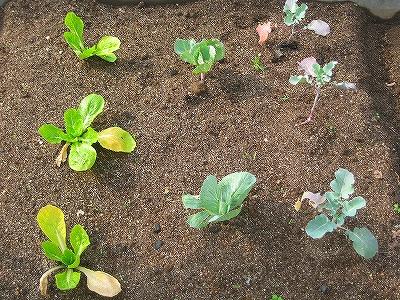 ブロッコリーとキャベツと白菜H20.11.1