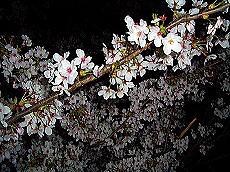 月夜の晩の桜の下