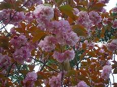 山頂に咲く八重桜。