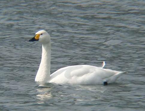 白鳥UP 055