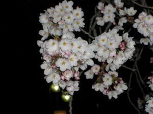 09040521華蔵寺公園の夜桜②