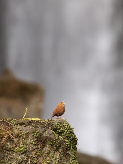 滝とミソサザイ