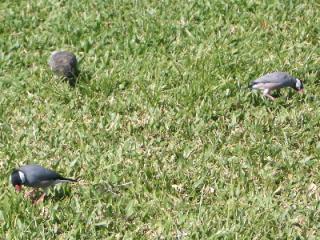 ハワイの文鳥サン3