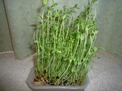 豆苗の再収穫.jpg