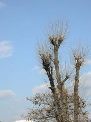 千両松の銀杏の木