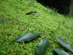 参道の苔2
