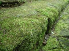 参道の苔4