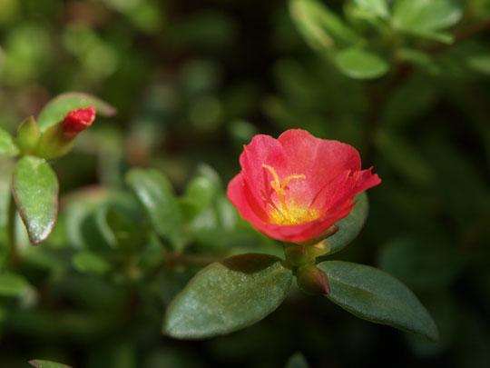 赤い花スベリヒユ