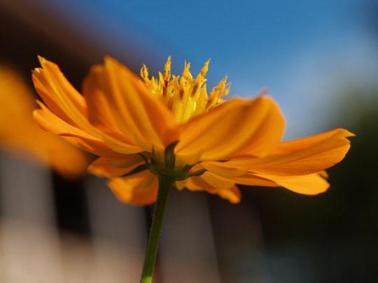 放課後の黄花コスモス