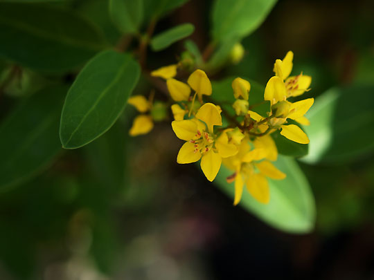 黄色の小花 キントラノオ