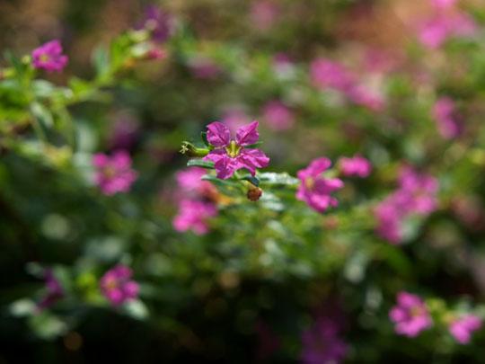 鉢植えのメキシコハナヤナギ