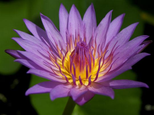 鉢植えの睡蓮