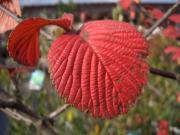 オオデマリ・紅葉