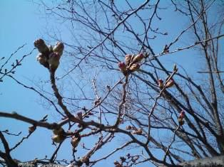 新潟の桜です★もうすぐ