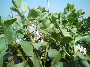 畑の空豆。まだまだです