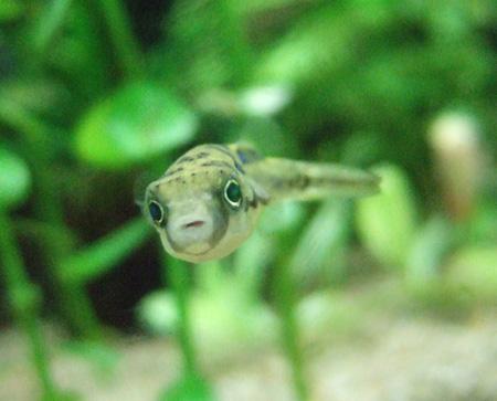 熱帯魚ふぐ