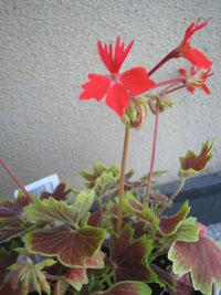 ゼラニウム花