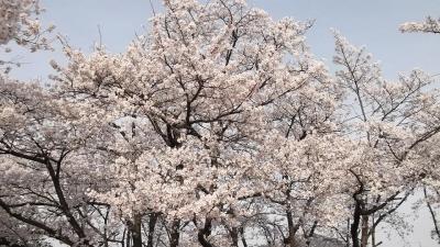 加須市旧騎西高_桜
