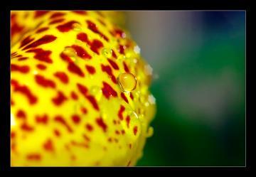 Calceolaria_f.jpg