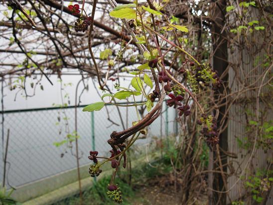 H21.3.20果樹3 あけびの花 002