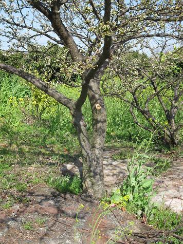 H21.3.20果樹(すもも) 007