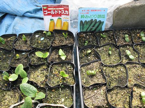 H21.3.28 夏野菜発芽の状態 004