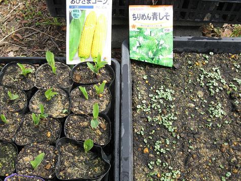H21.4.5夏野菜発芽の状態 2 003