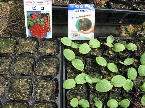 H21.4.5夏野菜発芽の状態 2 006