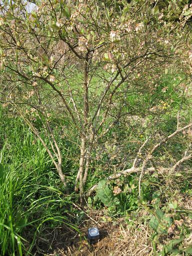 H21.4.7果樹(ブルーベリー)の状態 2 007