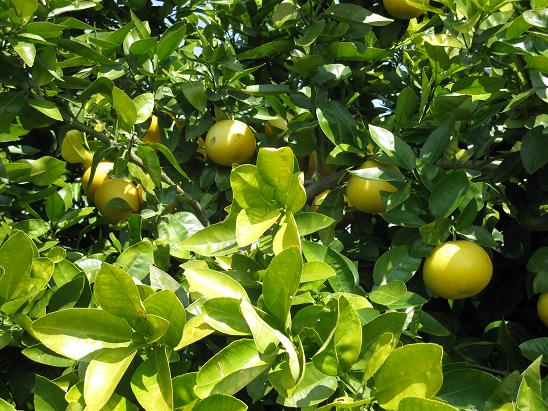 H21.4.7果樹(グレープフルーツ)状態 2 018