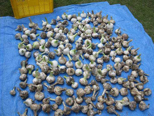 H21.5.24 ニンニク収穫@ 003