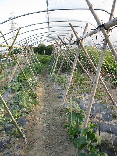 H21.6.7 ゴーヤ・トマトの棚 、雨よけ@003
