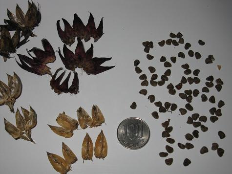 H21.8.9 ローゼルの採種2 @007
