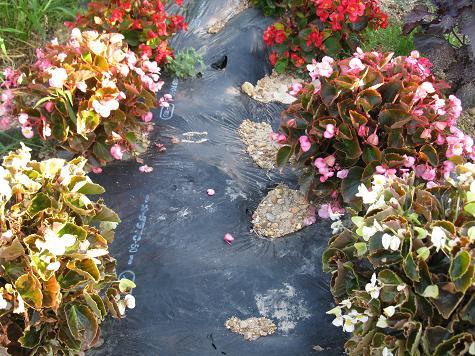 H21.8.14 ベゴニアの花 @019
