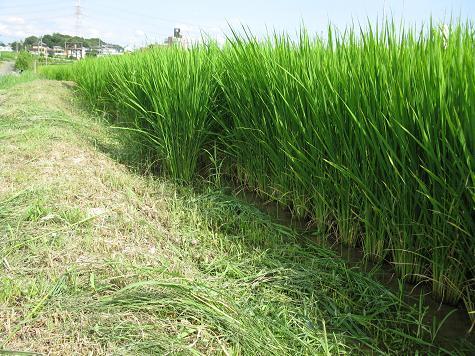 H21.8.15  出穂前の畦畔の草刈 @002