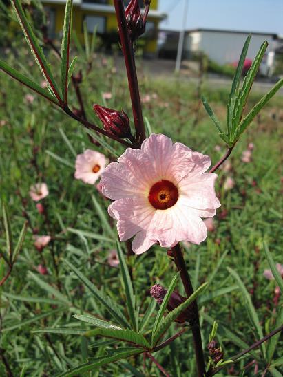 H21.9.6 ローゼルの花 @0031