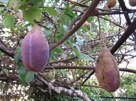 H21.10.19  10月の果樹(あけびの実)@002