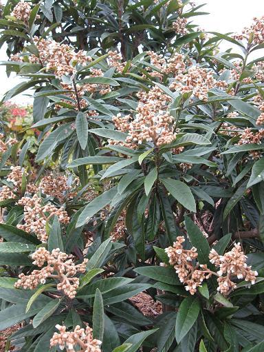H21.11.24 果樹、ビワの花 @008