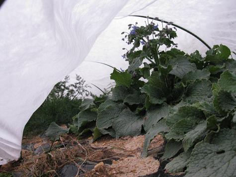 H21.12.12  ハーブ(ディル、ポリジ)防寒対策 @005