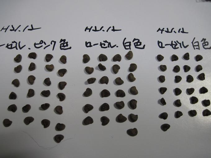 H22.1.2  ローゼル種子の比較Ⅱ @0081