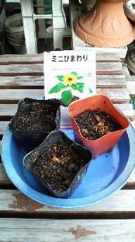 2008.5.17 ミニひまわり 種まき