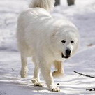 Great_Pyrenees_detail1.jpg