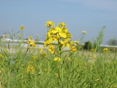 武庫川サイクルロード菜の花