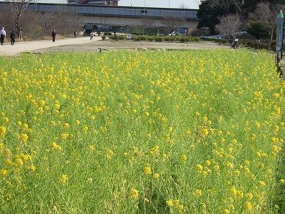 武庫川サイクルロード菜の花畑