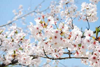 夙川桜その3