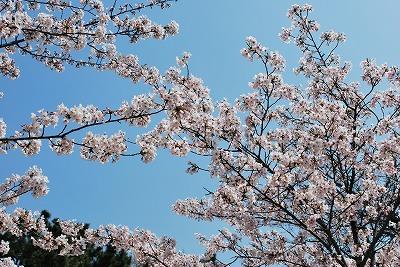 夙川桜その2