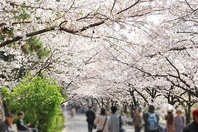 夙川桜その1